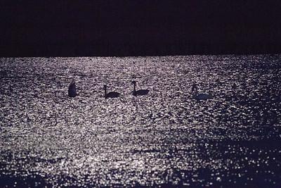 Trumpeter Swan trio moonlight keyhole silhouette Crex Meadows Grantsburg WI IMG_2344