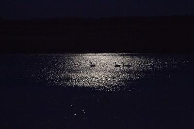 Trumpeter Swan trio moonlight keyhole silhouette Crex Meadows Grantsburg WI IMG_2399