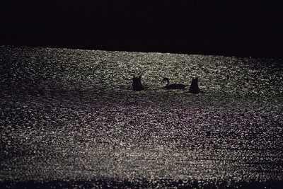 Trumpeter Swan trio moonlight keyhole silhouette Crex Meadows Grantsburg WI IMG_2372