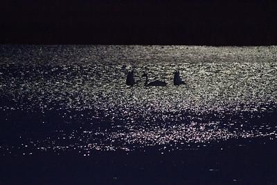Trumpeter Swan trio moonlight keyhole silhouette Crex Meadows Grantsburg WI IMG_2354