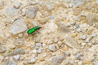 Cicindela sexguttata Six-spotted Tiger Beetle Necedah National Wildlife Refuge Necedah WI  IMG_1389