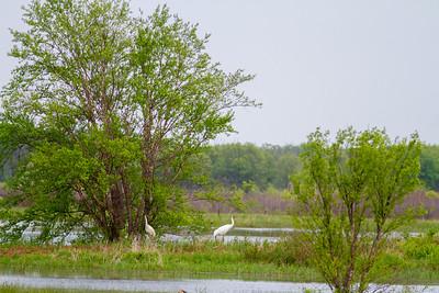Whooping Crane Necedah National Wildlife Refuge Necedah WI  IMG_1321