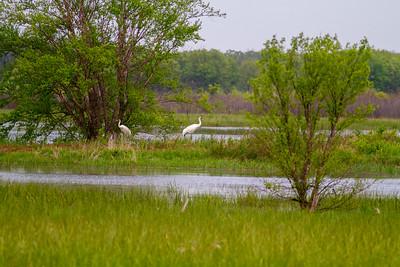 Whooping Crane Necedah National Wildlife Refuge Necedah WI  IMG_1302