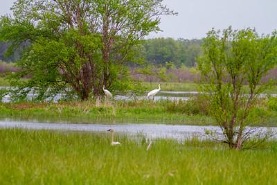 Whooping Crane Necedah National Wildlife Refuge Necedah WI  IMG_1318