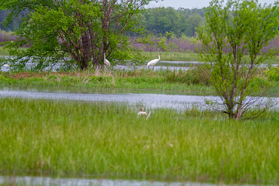 Whooping Crane Necedah National Wildlife Refuge Necedah WI  IMG_1324