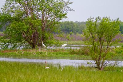 Whooping Crane Necedah National Wildlife Refuge Necedah WI  IMG_1316