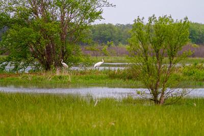 Whooping Crane Necedah National Wildlife Refuge Necedah WI  IMG_1298
