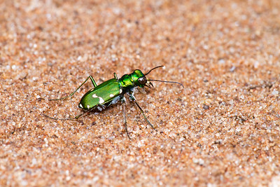 Cicindela patruela Northern Barrens Tiger Beetle pine barrens Douglas County Gordon WI  IMG_7346