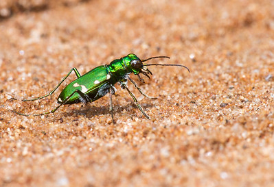 Cicindela patruela Northern Barrens Tiger Beetle pine barrens Douglas County Gordon WI  IMG_7344