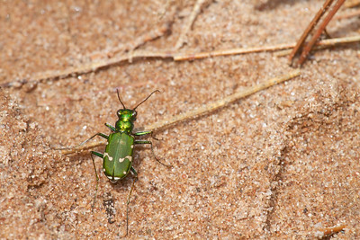 Cicindela patruela Northern Barrens Tiger Beetle pine barrens Douglas County Gordon WI  IMG_7347