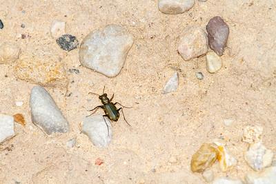 Cicindela scutellaris subspecies Lecontei Festive Tiger Beetle Sauk Prairie Recreation Area WI  IMG_0353