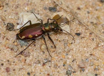 Cicindela scutellaris subspecies Lecontei Festive Tiger Beetle Sauk Prairie Recreation Area WI  IMG_0325