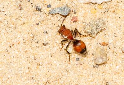 Velvet Ant Sauk Prairie Recreation Area WI  IMG_0276