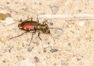 Cicindela scutellaris subspecies Lecontei Festive Tiger Beetle Sauk Prairie Recreation Area WI  IMG_0329
