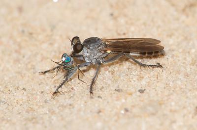 Stichopogon trifasciatus Three-banded Robber Fly Sauk Prairie Recreation Area WI  IMG_0340
