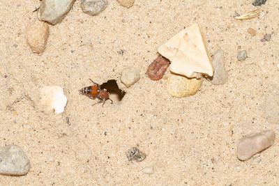 Velvet Ant Sauk Prairie Recreation Area WI  IMG_0277