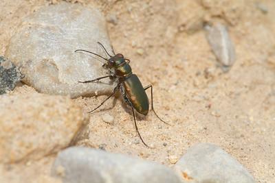 Cicindela scutellaris subspecies Lecontei Festive Tiger Beetle Sauk Prairie Recreation Area WI  IMG_0380