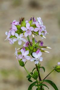 Soponaria officinalis Bouncing Bet Sauk Prairie Recreation Area WI  IMG_0440