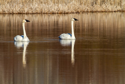 Trumpeter Swan pair Tobin-Kimmes Wetlands Gordon MacQuarrie Wetlands-5813