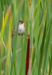 Marsh Wren Tobin-Kimmes Wetlands Gordon McQuarry Wetlands Douglas County WI-0142