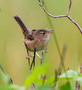 Sedge Wren Tobin-Kimmes Wetlands Gordon McQuarry Wetlands Douglas County WIIMG_0089