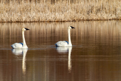 Trumpeter Swan pair Tobin-Kimmes Wetlands Gordon MacQuarrie Wetlands-5810