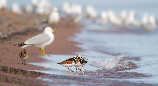 Ruddy Turnstone flock Dunlin Wisconsin Point Superior WIIMG_0037
