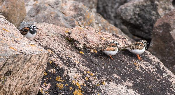 Ruddy Turnstone flock on rocks breakwall Lake Superior Wisconsin Point Superior WI DSC07710