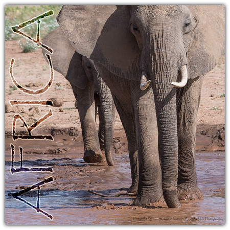 A female african elephant and her calf cross a muddy river in Kenya Africa.
