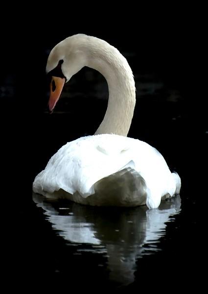 White Swan_ART.jpg