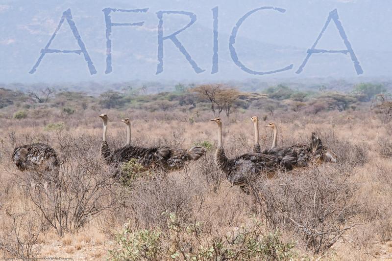AFRICA Ostriches.jpg