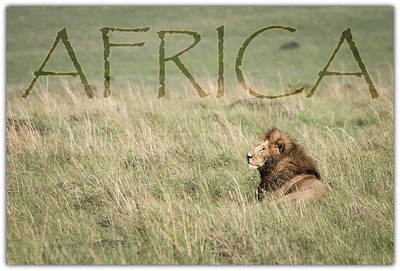 A large male Lion rest within the immense grasslands of the Masai Mara.