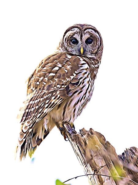 O - Barred Owl 2017.jpg