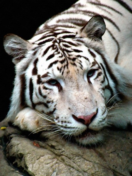 White Tiger_Art.jpg