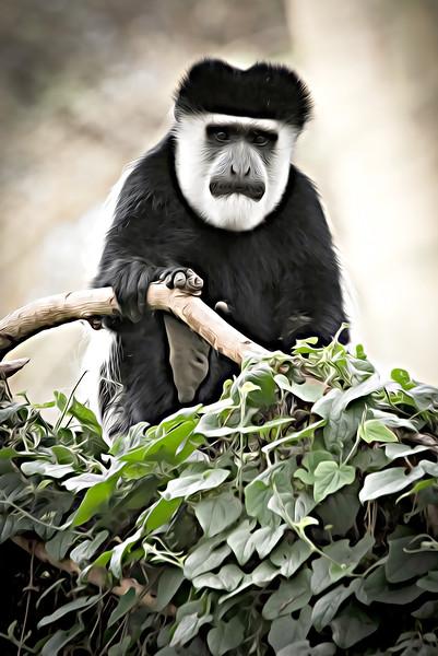 Colobus Monkey (1).jpg
