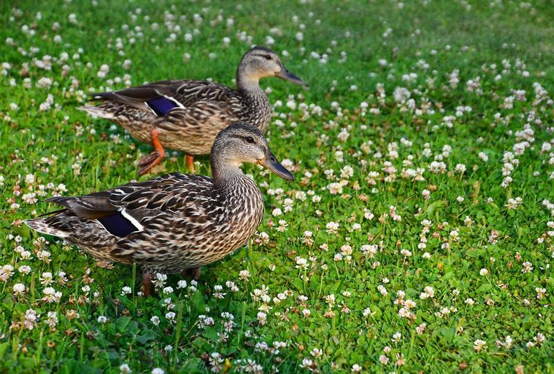 Ducks at Wishbone Resort