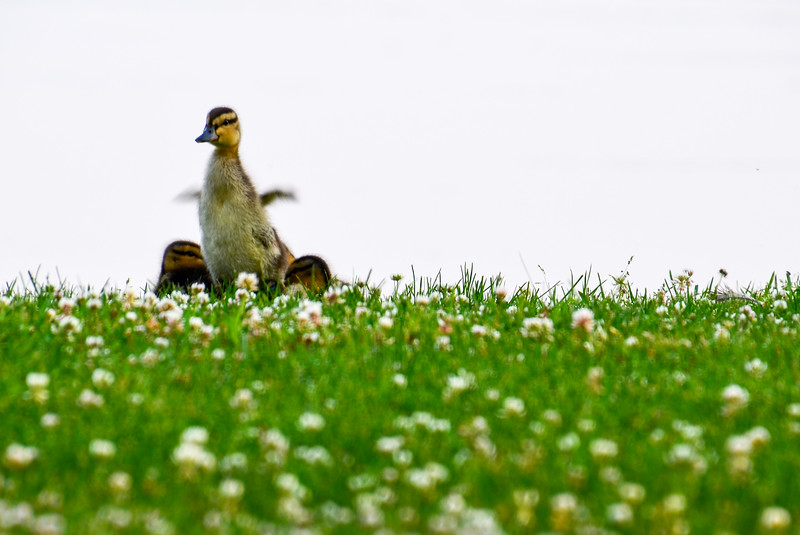 Duckling Spreads its Wings