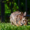 Backyard Bunny Nibbling Grass