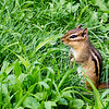 Backyard Chipmunk