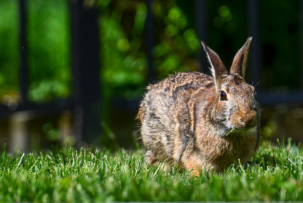 Backyard Bunny