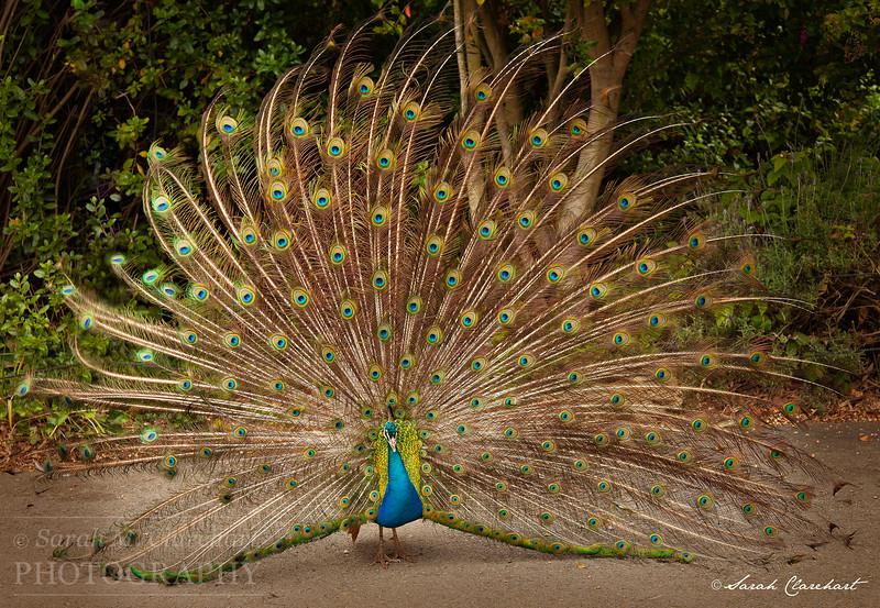 PeacockFull