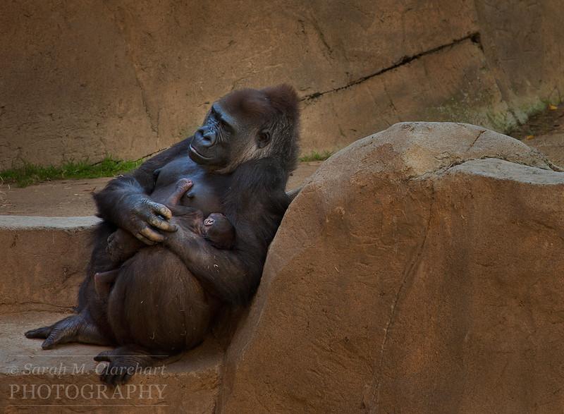 Gorillas3