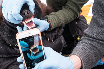 Wolverine biologist Tom Glass takes a picture of a wolverines teeth, to be used for identification and a health check, during the satelitte collaring process. A wolverines teeth and jaw have the power to crush the large bones of animals. This unique ability provides them with an opportunity to feed on the left overs of bear and wolf kills, two animals that don't eat the bones of their prey.