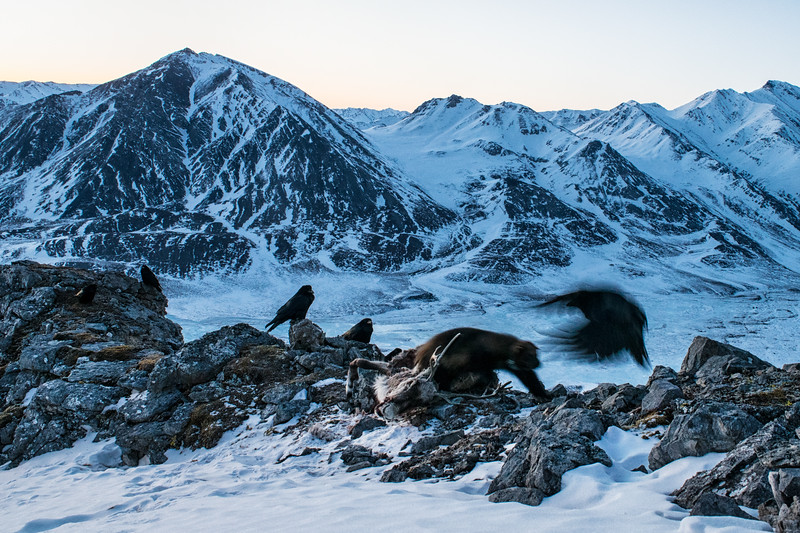 A collared wolverine chases off a raven to protect its caribou carcass. This caribou was killed by wolves in the Arctic National Wildlife Refuge.