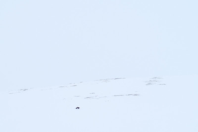 A wolverine disappears into whiteout conditions on the North Slope in Alaska's great wilderness.