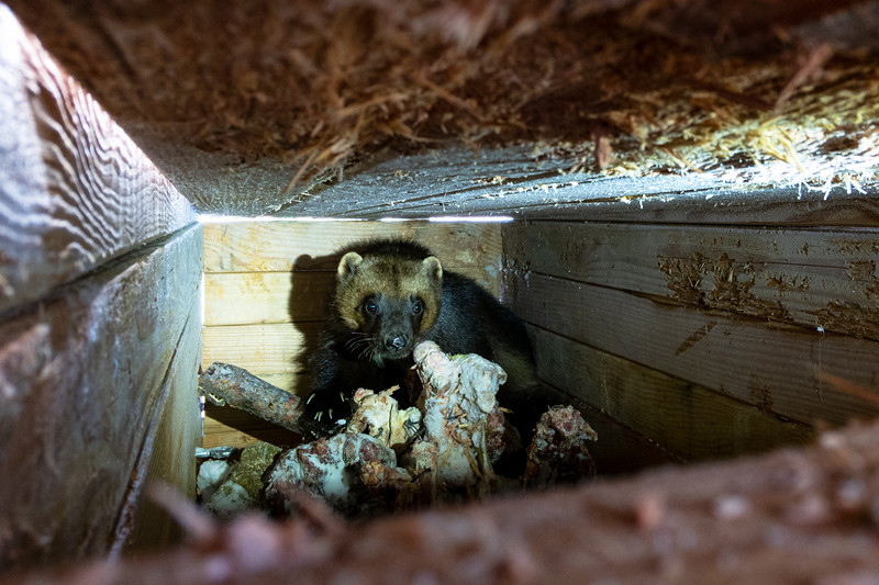 A small female wolverine is caught in one of the biologists live traps. Once a wolverine is caught in a trap, biologists must arrive at the location within 8 hours, because the animals can chew through the 4 inch thick wood walls to escape.