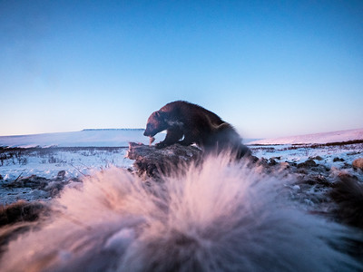 A wolverine chews on a caribou carcass, eyeing the horizon for competition.