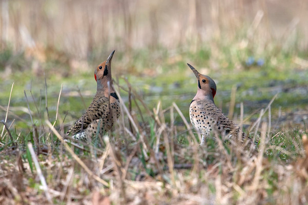 Pair of Northern Flickers lift beaks in mating ritual • Sterling Nature Center, NY • 2017