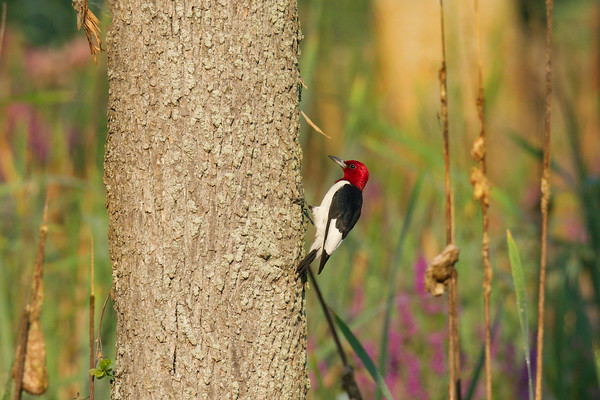 Red-headed Woodpecker by flowering marsh • May's Point at Montezuma NWR, NY • 2013