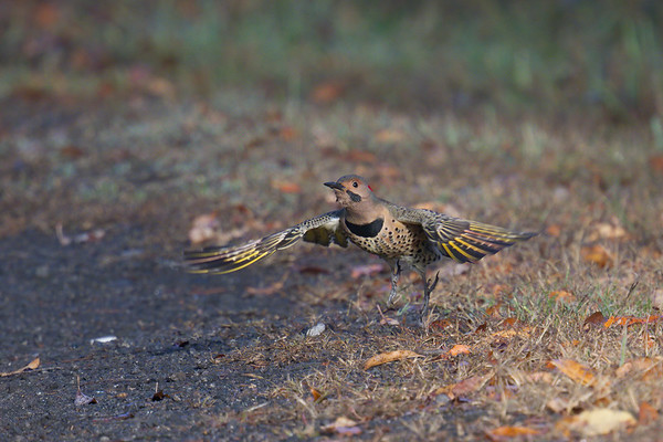 Northern Flicker takes flight from autumn leaf-strewn path • Jim Schug Trail, Dryden Lake NY • 2020